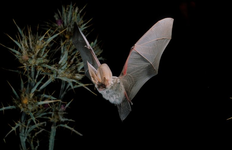 Graues Langohr im Flug, Plecotus austriacus, grey long-eared bat in flight.jpg