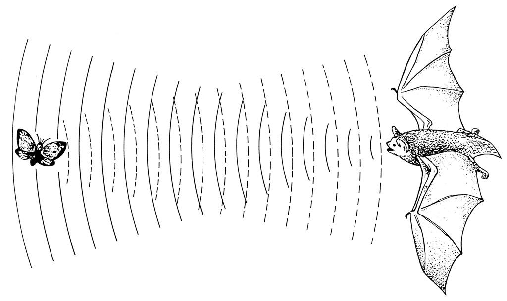 Fledermaus Ultraschall